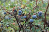 Blueberries along the Denali Highway