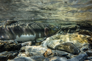 Valdez Salmon Run