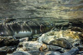 Valdez Salmon Run